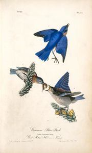 John James Audubon - Common Blue Bird. 1. Male. 2. Female. 3. Young. (Great Mullein. Verbascum Thapsus.)