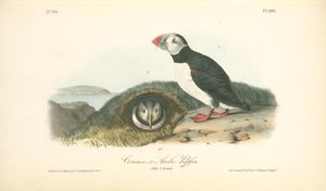 John James Audubon - Common or Arctic Puffin. 1. Male. 2 Female