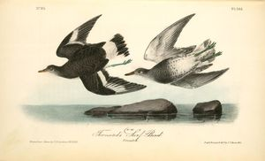 John James Audubon - Townsend's Surf-Bird. Females