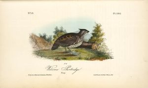 John James Audubon - Welcome Partridge. Young