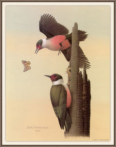 August Albert Zimmermann - lewiss woodpecker