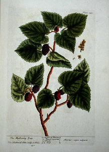 Elizabeth Blackwell - The mulberry tree