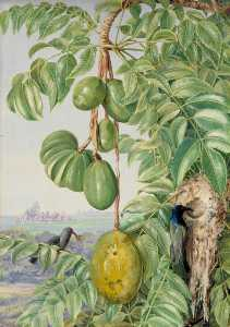 Marianne North - Fruit de Cythere and Sugar Birds and Nest, Seychelles