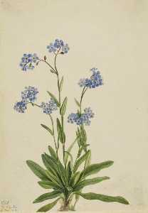 Mary Vaux Walcott - Alpine Forget Me Not (Myosotis alpestris)